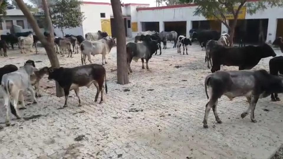 Farmers in Mahawad village alleged that their crops were destroyed by the stray cattle.