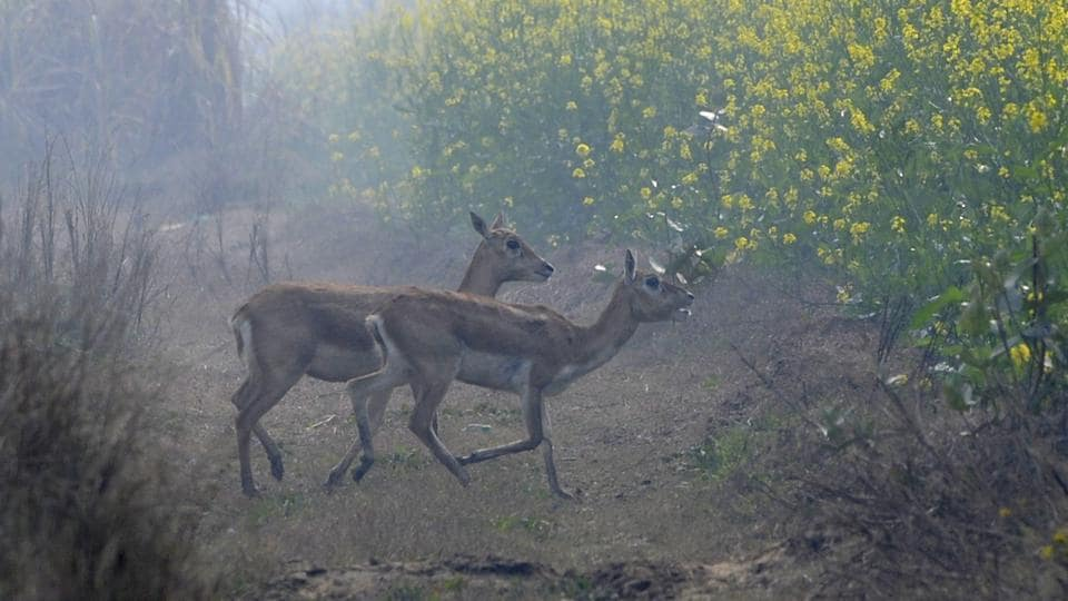The new habitat, which is around 70 km from Delhi in the National Capital Region (NCR), was discovered after residents reported two poached blackbucks in October and November.