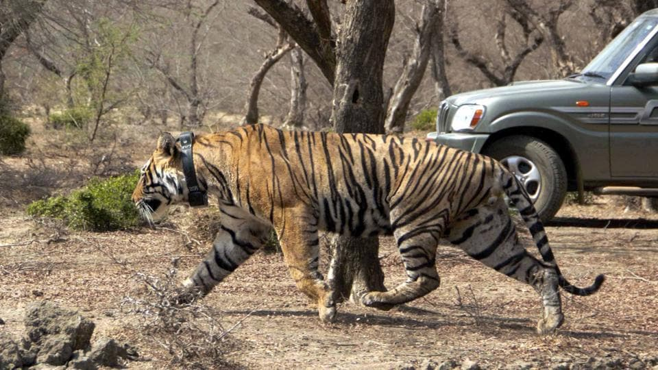 Mukundra Hills Tiger Reserve,Rajasthan,tigress