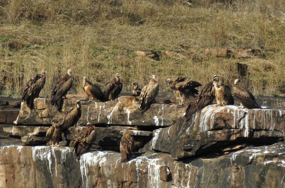 Vulture at Panna national park  HT photo...