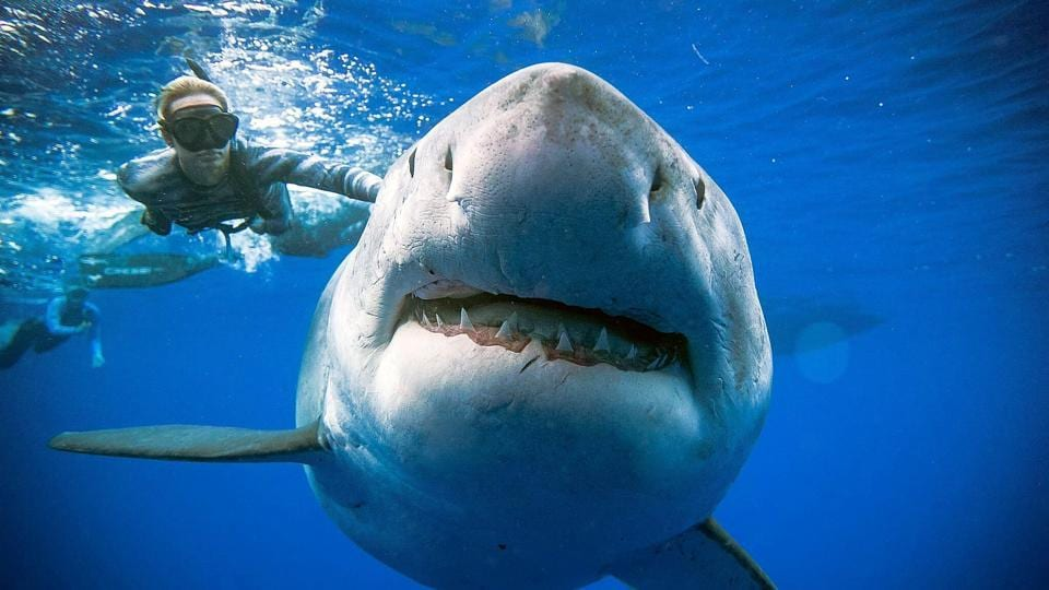 A shark said to be 'Deep Blue', one of the largest recorded individuals, swims offshore Hawaii.