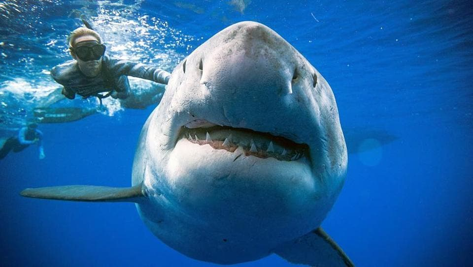 """Diver Ocean Ramsey swims next to a female great white shark off the coast of Oahu, Hawaii. This individual may be one of the largest recorded, it shows similar markings to """"Deep Blue"""" a shark Ramsey studied in Isla Guadalupe, Mexico. (@oceanramsey / http://OneOceanDiving.Com / AFP)"""