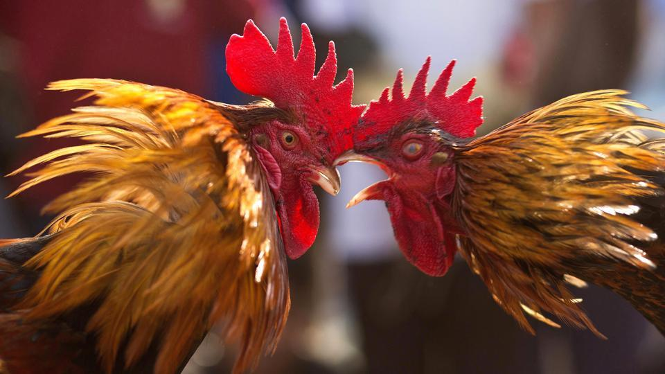 Roosters attack each other during a cockfight as part of Jonbeel festival near Jagiroad, about 75 kilometers (47 miles) east of Guwahati, Assam. (Anupam Nath / AP)