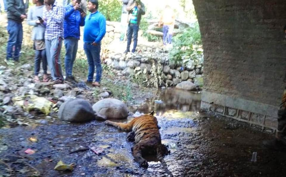 A tiger was dead beneath a culvert in the Corbett Tiger Reserve in Uttarakhand on Sunday. Forest officials are trying to ascertain the cause of death.