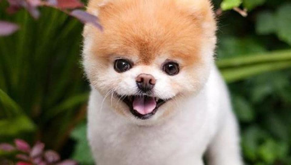 World's cutest dog,Boo,Buddy
