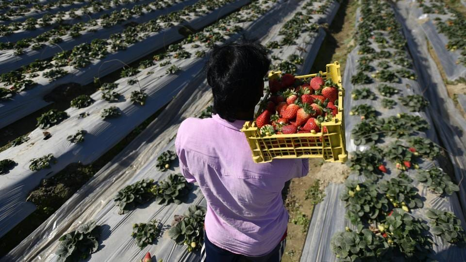A man seen carrying strawberries in a basket at a farm, in Palla Village, Narela, New Delhi, India, on Monday, January 14, 2019.
