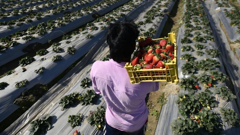 Palla,Delhi Strawberry,Strawberry village