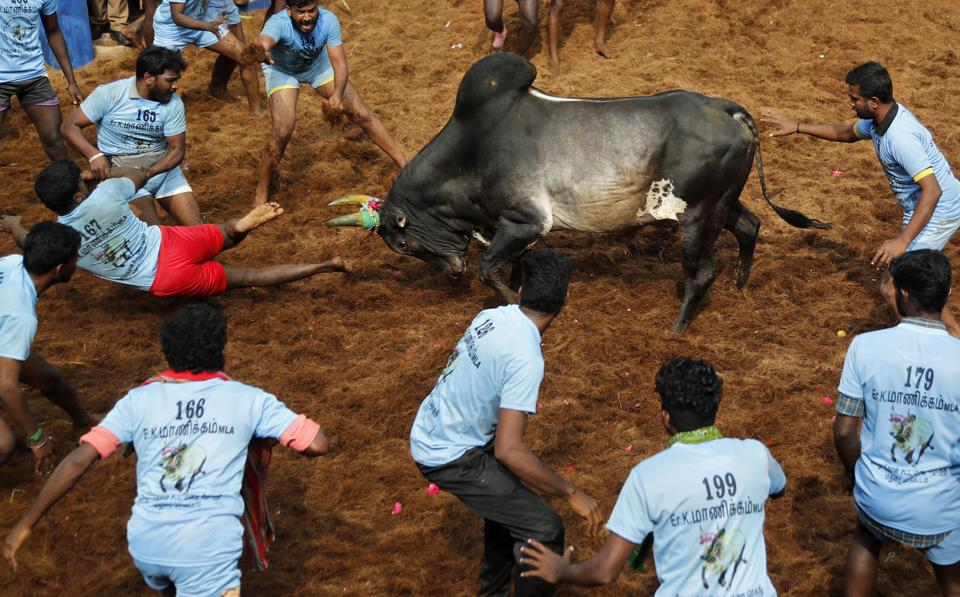 A bull charges towards participants in a traditional Jallikattu bull-taming festival in the village of Allanganallur, near Madurai, Tamil Nadu.