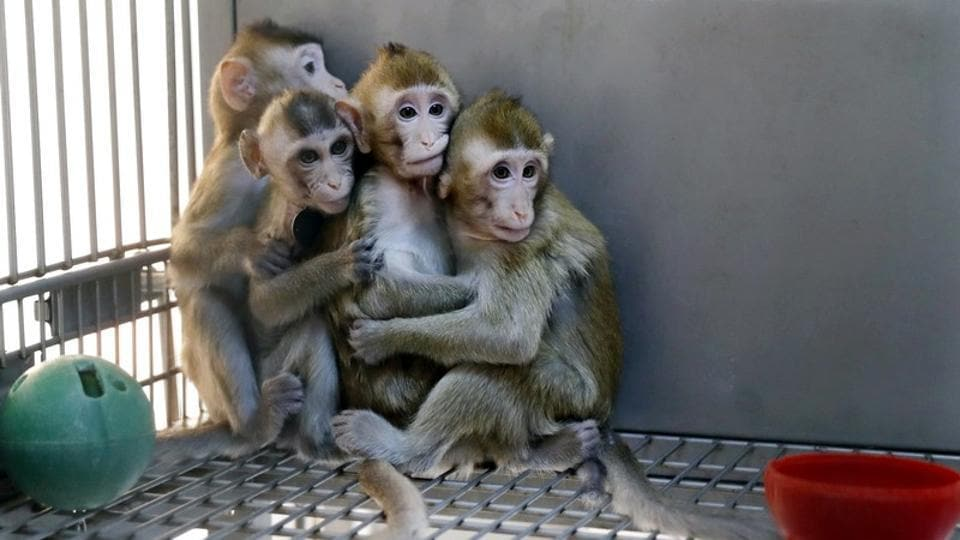 Biomedical Research: Scientists clone five gene-edited monkeys
