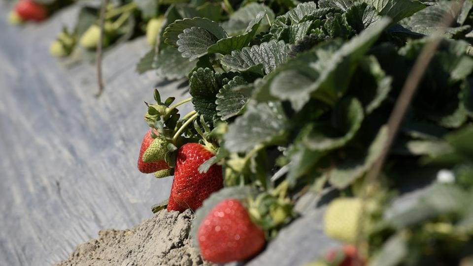 Different varieties of strawberries such as San Adrian, Winter Down, Sweet Session, Winter Star, Sweet Charlie, etc are cultivated in the farmland. (Biplov Bhuyan / HT Photo)