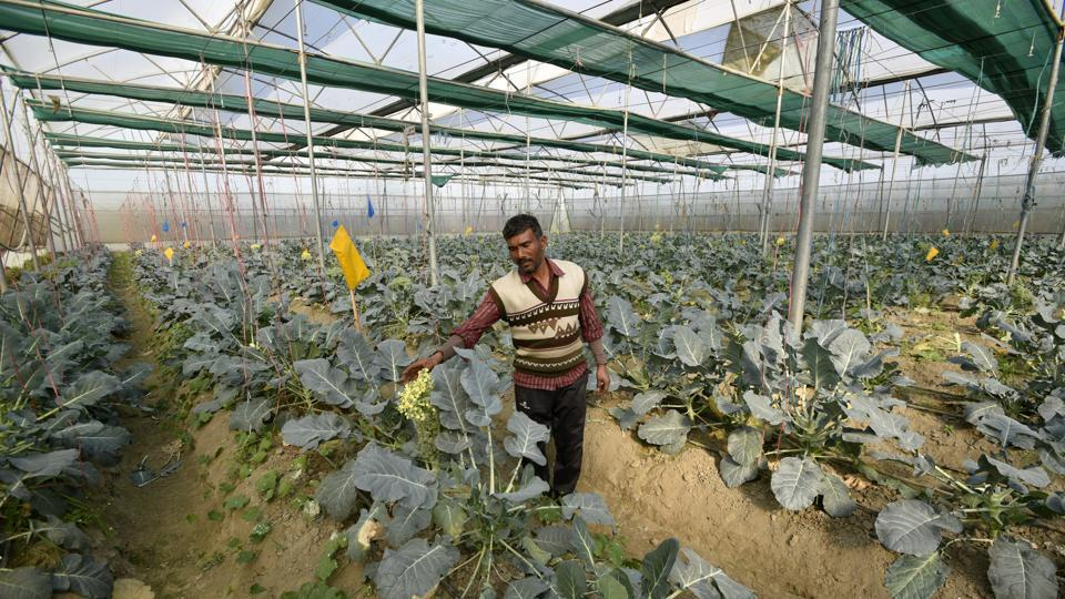 A man tends to a cauliflower cultivation in a greenhouse. Different crops, like coloured bell pepper, cucumber, broccoli, etc. are grown in the greenhouses. (Biplov Bhuyan / HT Photo)
