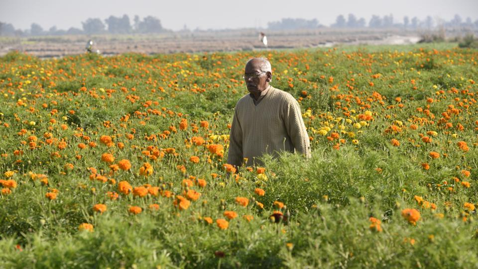 "The village also serves as a place for the cultivation of flowers. Rajender Singh, who produces about 300 kg every day in his fields here and at a neighbouring village, claims that Palla is a perfect place for flowers. ""We sow the seeds in September and October and the flowers are ready by December. Marigold is much sought-after during the wedding season,"" he said. (Biplov Bhuyan / HT Photo)"