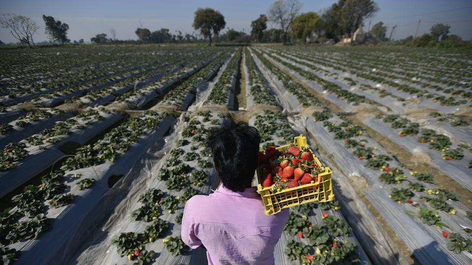 A man carries ripened strawberries in a basket at a farm in Palla village. Situated about 35 km from Connaught Place on the northern fringes of Delhi, the riverside village  of Palla has retained an agrarian way of life with its residents engaging in agriculture on a large scale. Among its myriad striking features, the strawberry plantations stand out. (Biplov Bhuyan / HT Photo)