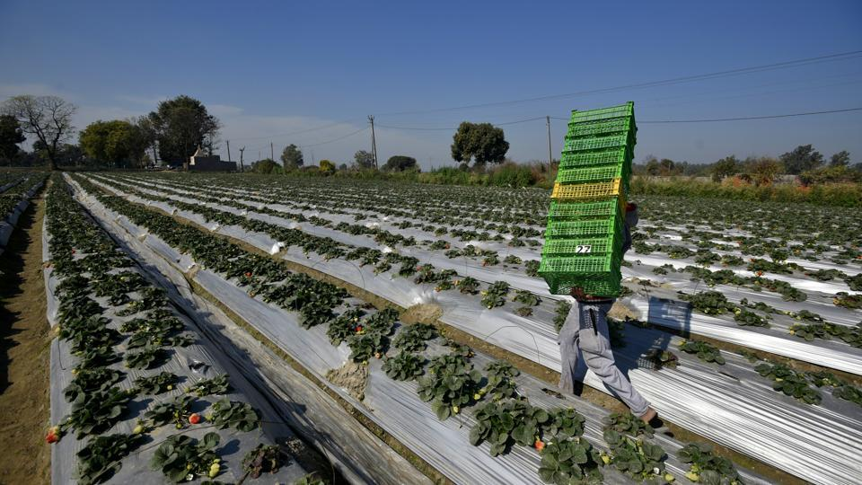 "A worker carries baskets for filling them with strawberries. ""Strawberry farming in Delhi is a costly and complex affair. It takes about Rs 6 lakh to cultivate strawberry on an acre of land,"" Beniwal said. He imports seedlings from California, multiplies them in his nursery in Manali and then plants them in Delhi. (Biplov Bhuyan / HT Photo)"