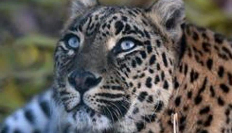 maneater,Leopard,Bengal Forest Department