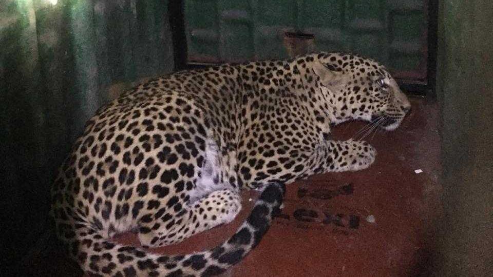 leopard in palghar,palghar leopard case,leopard locked in bathroom
