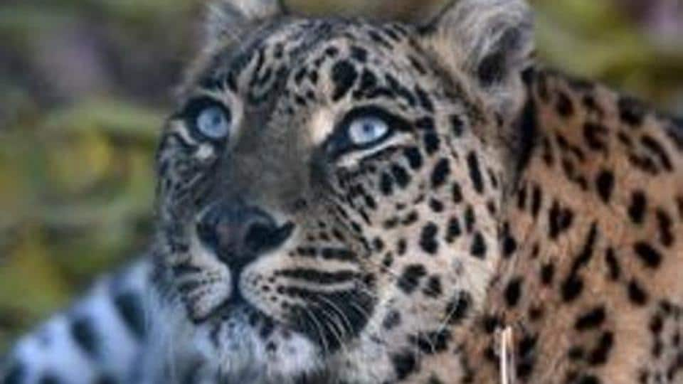 In this file photo taken on November 9, 2017 a leopard rests at the Dachigam National Park outside Srinagar.