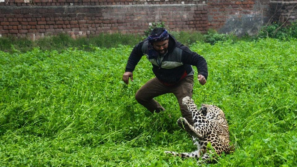 A leopard attacks a man in Lamba Pind area in Jalandhar, Punjab on January 31, 2019.  A leopard caused panic in the city of Jalandhar yesterday as it went on the prowl for several hours attacking inhabitants before it was contained. (Shammi Mehra / AFP)