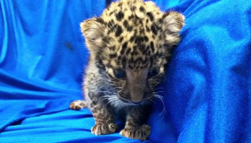Passenger carrying leopard cub from Bangkok detained in Chennai airport