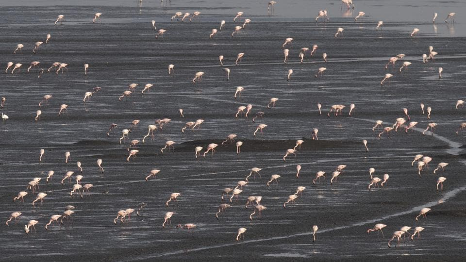 Lesser flamingoes flock the Sewri mudflats in Mumbai city district, Maharashtra. The exercise will help identify the wetlands and their exact locations, which is currently unclear in many cases. It will also help authorities curb destruction of wetlands. (Satish Bate / HT Photo)