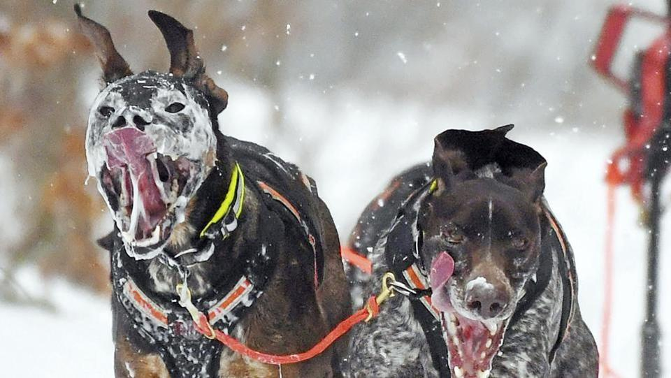 Two dogs compete in a sled dog race in Todtmoos, southern Germany. (Uli Deck / dpa via AP)