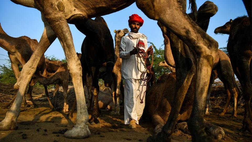 Iakesh Raika, 34, takes his camels for grazing in Rani village, some 130km south of Jodhpur, Rajasthan. On a recent winter day, his father Lakshman Raika boiled tea with fresh milk from one of his camels, gently stirring the brew his tribal herdsman have consumed for generations. (Chandan Khanna / AFP)