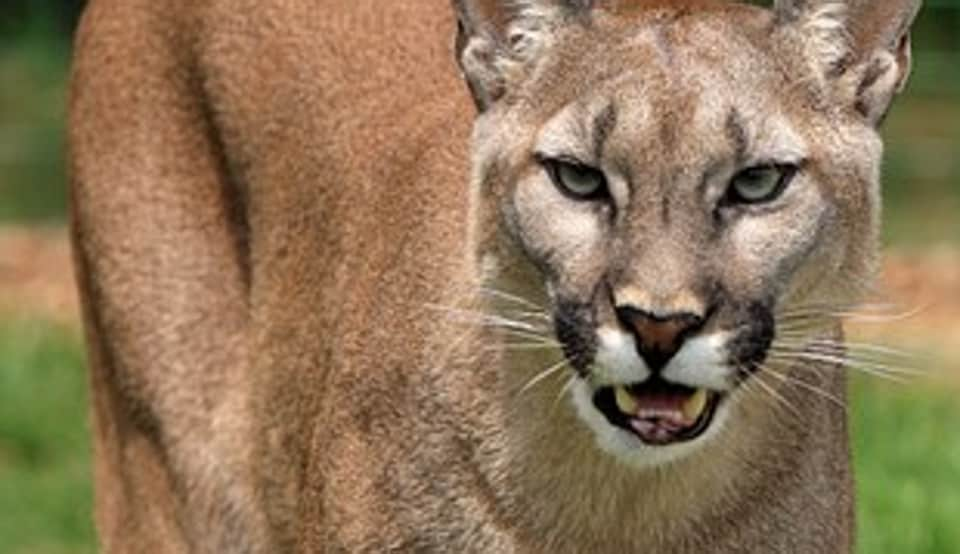 b036b7386 A man was attacked by mountain lion. He fought back and choked it to death