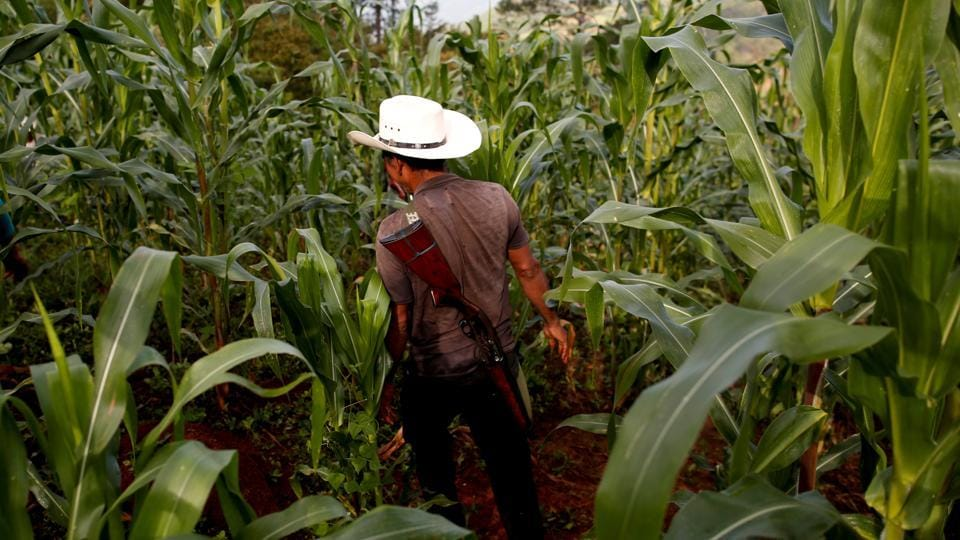 Poppy farmer Francisco Santiago Clemente walks with his gun on his back in a corn field. On a visit to Guerrero in January, Lopez Obrador pledged price supports for grains, including around $300 a tonne for corn, part of a strategy meant to give farmers alternatives to planting illicit crops. (Carlos Jasso / REUTERS)