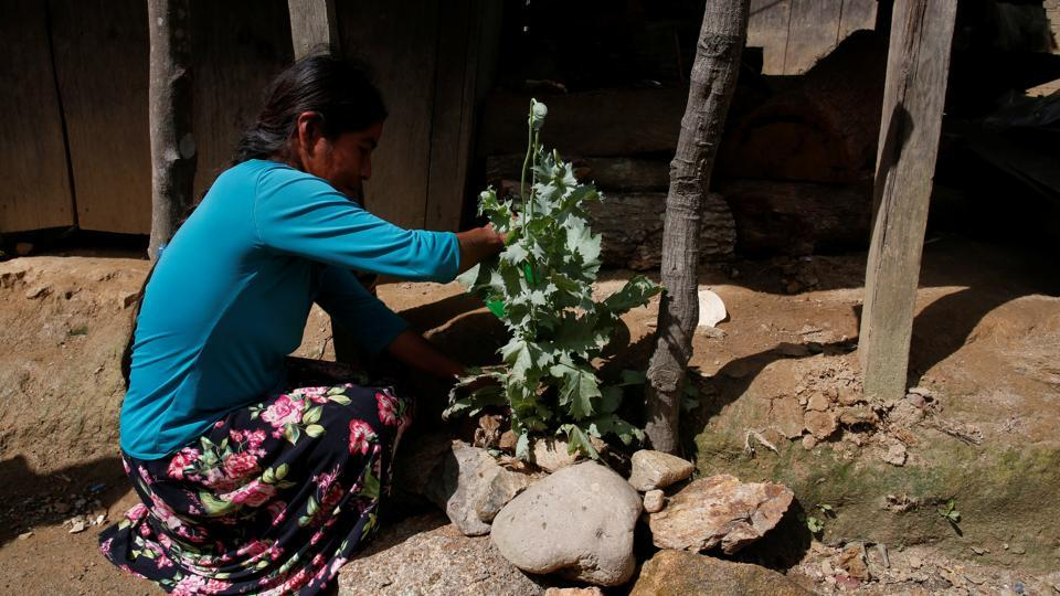 A woman tends to her opium poppy plant outside her house in Juquila Yucucani. The farmers in Juquila Yucucani do not consider themselves criminals, and say current poppy eradication efforts by the army also sometimes destroy legal crops. (Carlos Jasso / REUTERS)