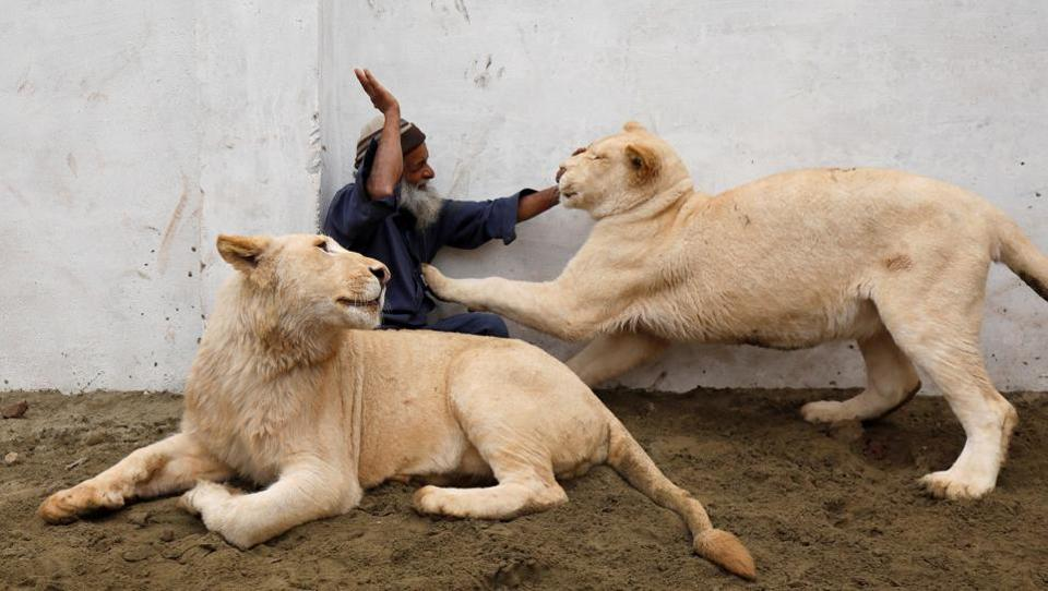 Mamy, a caretaker plays with a pair of pet lions in an enclosure built in a house on the outskirts of Peshawar, Pakistan. (Fayaz Aziz / REUTERS)