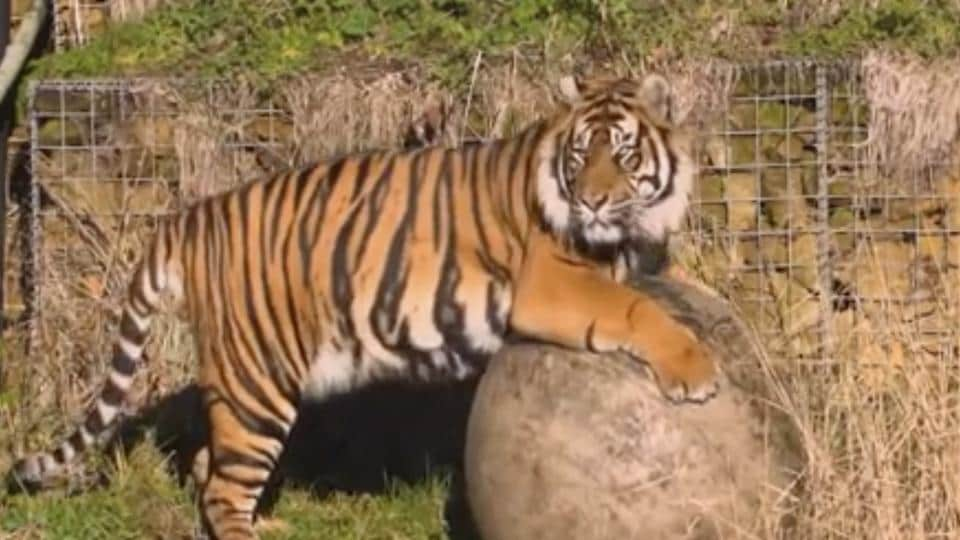 This image taken from video and made available by London Zoo, shows Sumatran tiger named Asim at London Zoo, Wednesday Jan. 30, 2019.