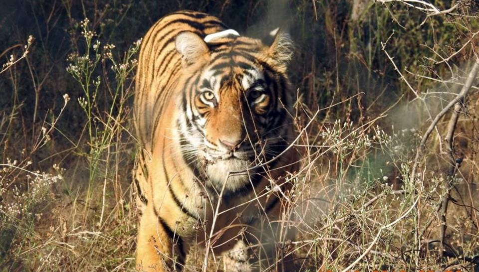 Gitangshu Das was on a boat in a creek when the animal pounced on him and dragged him away inside the forest.