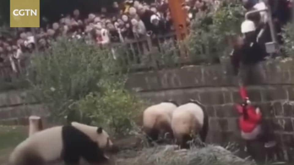 China,panda,rescue