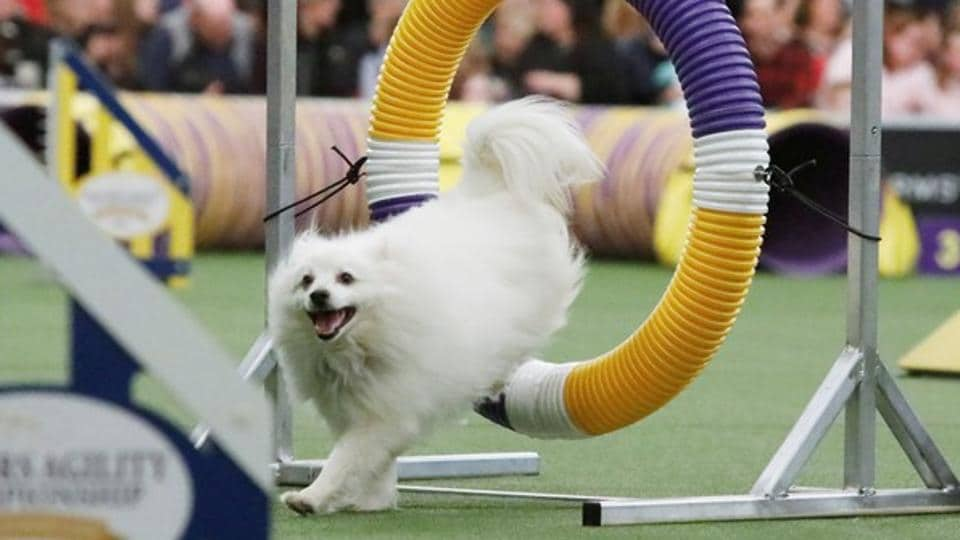 An American Eskimo Dog competes in the Masters Agility Championship during the AKC and Westminster Kennel Club Meet and Compete event in New York, US on February 9.