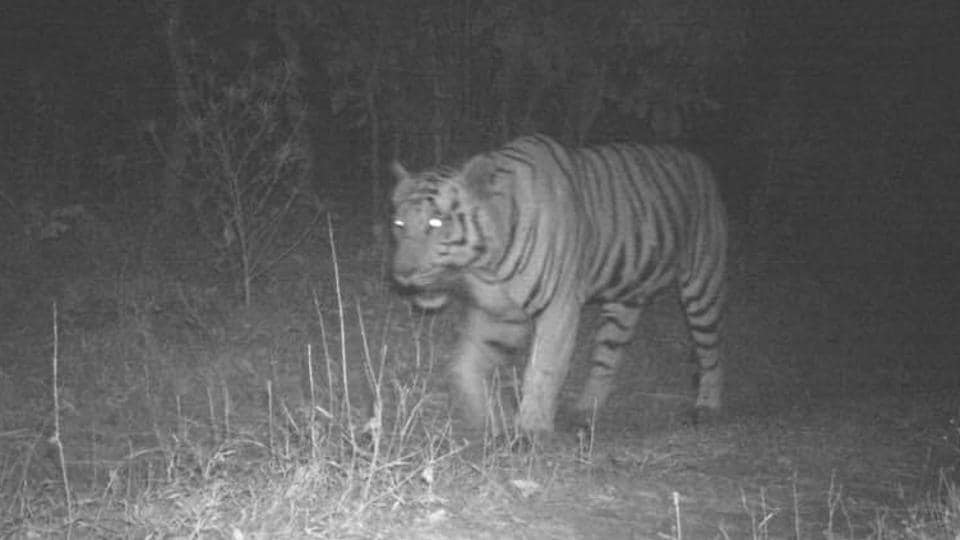 Image captured by night vision camera of a lone tiger's movement in forest of Mahisagar district in Gujarat.