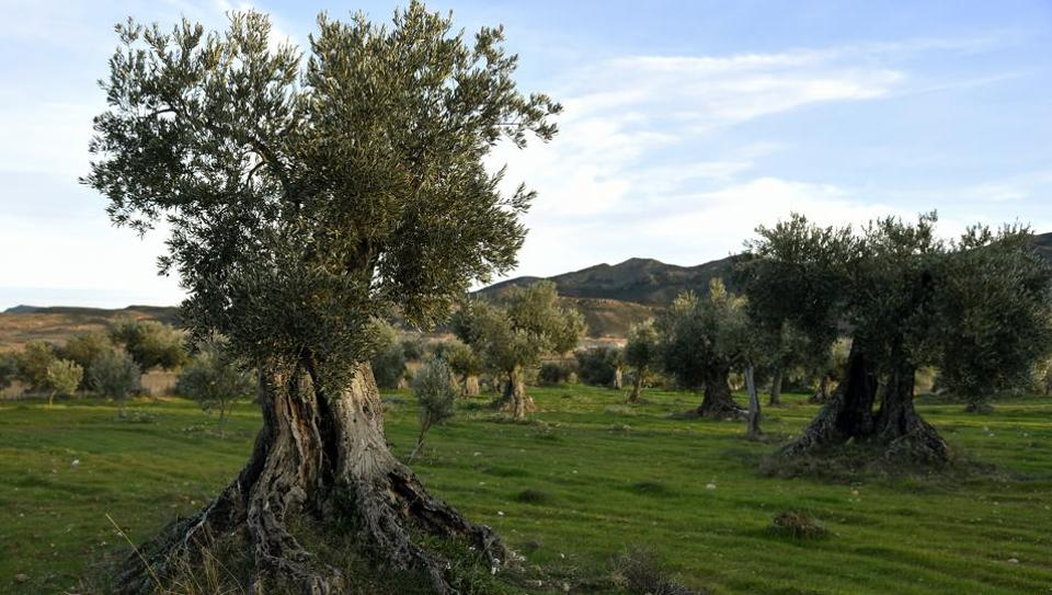 """Trees are pictured in an olive grove in Oliete, northeastern Spain. """"They're over 500 years old,"""" said Sira Plana proudly as she pointed to Oliete's olive groves, many of which are thriving now thanks to an adoption scheme that has prevented this northeastern Spanish village from dying out. (Jose Jordan / AFP)"""