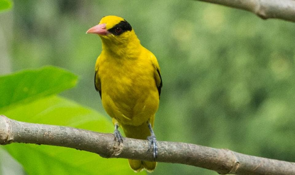 Black-naped  Oriole was the 'bird of the day' atSunday's event.