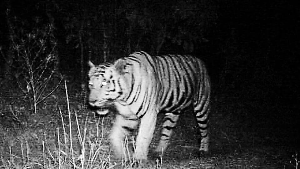 The tiger captured by a night vision camera in the forest of Mahisagar, February 12, 2019.