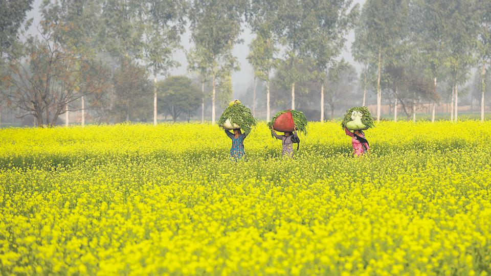 mustard fields,sarson ka khet,bollywood