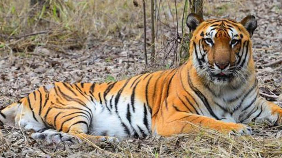 No tiger spotted in 3 years at Palamau park