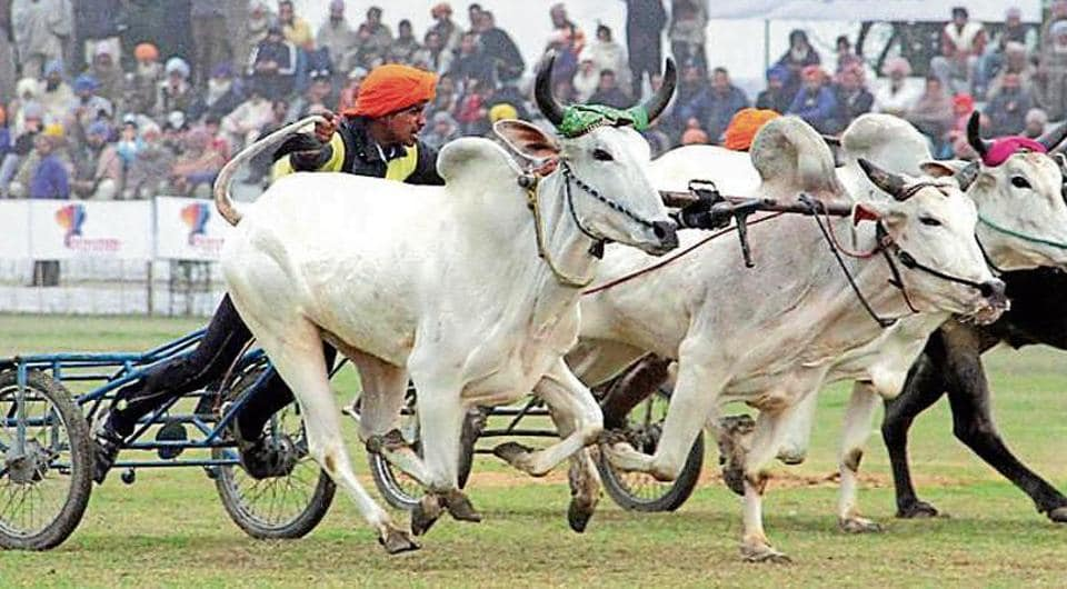 Bullock cart races were an integral part of Kila Raipur rural sports festival in Punjab till they were prohibited by the Supreme Court in 2014.