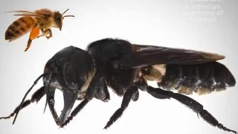 'Flying bulldog': World's largest bee Megachile pluto rediscovered in Indonesia