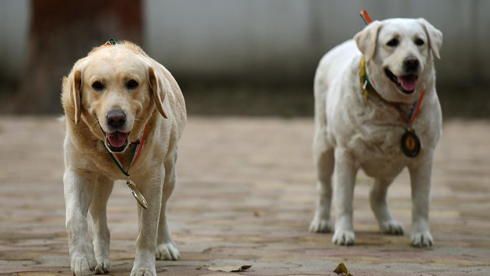Delhi Police dog squad twins Babu (L) and Babe (R) pose for media at Model Town Police Station in New Delhi