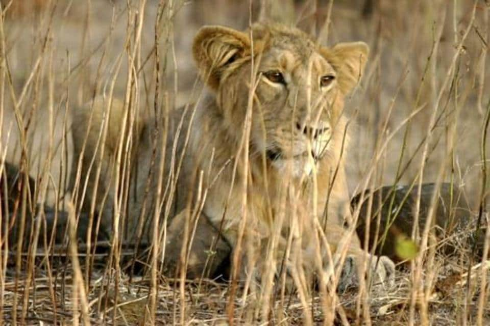 The state forest department is now charting out a plan to use these lions for gene pool research, breeding, and animal exchange programmes between zoos.