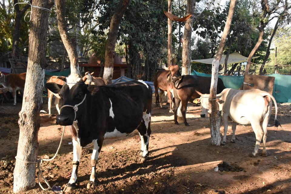 Stray cattle in a road side gaushala on Hoshangabad road in Bhopal
