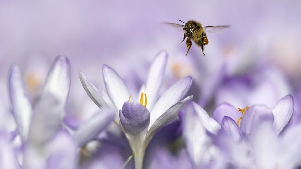 A bee foraging around flowers on a warm winter's day, at Bern, Switzerland. The unseasonably warm weather seems to have bought the seasons forward by some weeks, revealing a spring view while still being in winter. (Anthony Anex / Keystone / AP)