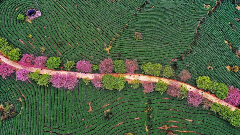 An aerial view of a tea field in Zhangping in China's eastern Fujian province. (Stringer / AFP)