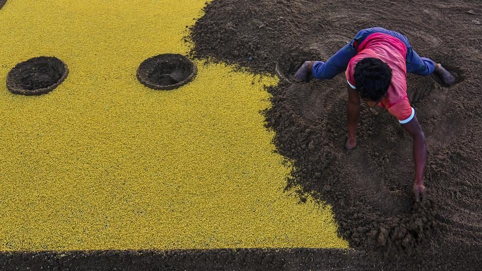 A man covers Fenugreek seeds with soil at Versova in Mumbai, Maharashtra. (Ragul Krishnan / HT Photo)