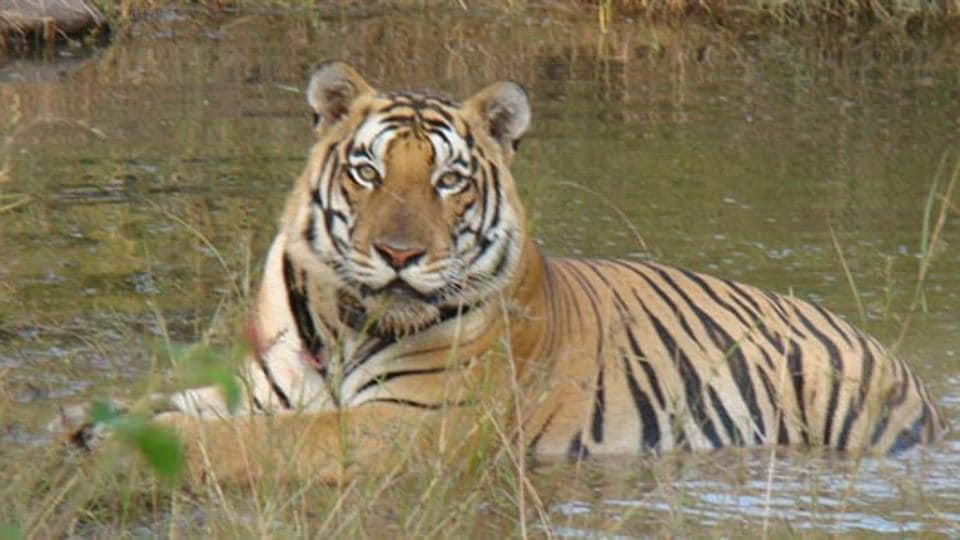Panna National Park has three times the number of the tigers in Sarsika.