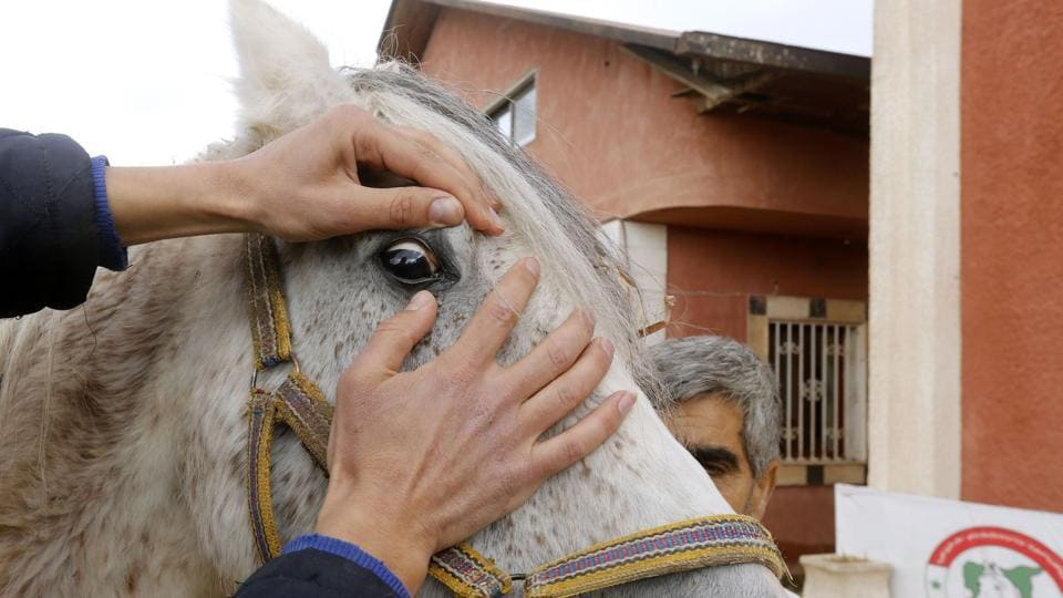 "At the stables in Dimas, staff are paying special attention to Karen's recovery. She hails from the Hadbaa strain of Arabian purebreds, called so because of their long eyelashes and mane. ""The Hadbaa Enzahi Fawaeira were already at risk of dying out before the war,"" said Shaib. But ""today, it's only Karen."" (Louai Beshara / AFP)"